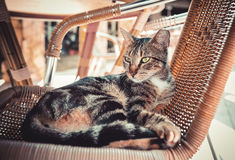 Cat with a torn ear. Lying in a wicker chair Royalty Free Stock Images