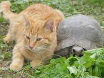 Friendly cat and turtle. Closeup of friendly cat and turtle lying side by side Stock Photos