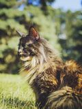 A cat-tortoise breed Maine Coon sits on the grass and basks in the sun royalty free stock photography