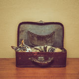 Cat of tortoiseshell color in a vintage suitcase Royalty Free Stock Image