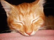 Cat tosha royalty free stock image