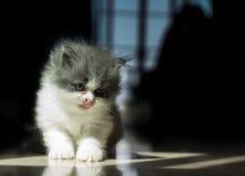 Cat Tougue Portrait Royalty Free Stock Images