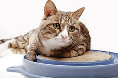 Cat with toy. Cute cat lying on the cat-scratch board Royalty Free Stock Photography