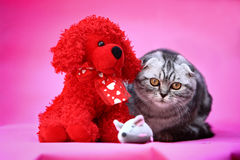 Cat and toy. A curios cat with toys royalty free stock images