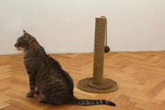 Cat with toy Royalty Free Stock Image