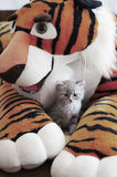 Cat with toy tiger. Grey russian cat with toy tiger royalty free stock images