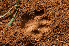 Cat Track in Wet Mud. Recent foot print of a cat in surface of soft wet mud Royalty Free Stock Photos