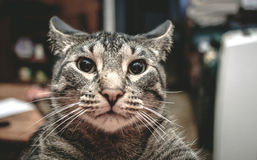 Cat in a Trance Stock Photography