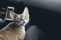 Adorable devon rex cat is sitting on a lap and enjoying the road. Cat is traveling in a car Royalty Free Stock Photography