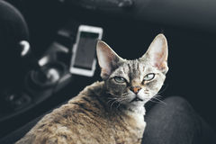 Cat is traveling in a car Stock Images