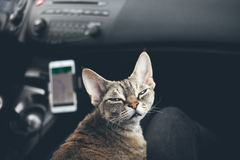 Cat is traveling in a car Stock Photos