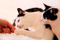Cat treat, cat eats at home. Close up. Human hand keeps house cats. Pet animals. Domestic animals stock image