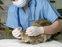 Cat treated by veterinarian. Wounded cat treated by veterinarian stock photo