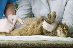Cat treated by veterinarians. Wounded cat treated by veterinarians Royalty Free Stock Photo