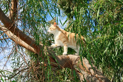 Cat on the tree. Tawny cat on eucalyptus tree Stock Images