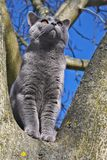 Cat on a tree. British blue short-hair cat on a tree Royalty Free Stock Images