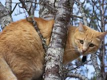 Cat in a tree. An orange tabby in a tree Stock Photography