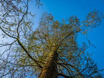 Cat Tree alta com o céu azul claro Fotografia de Stock Royalty Free