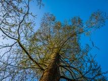 Cat Tree alta con chiaro cielo blu Fotografia Stock Libera da Diritti