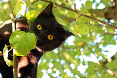 Cat in the tree. Black cat with yellow eyes in the tree Stock Photography