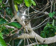 Cat and Tree Camouflage Blend. Black, grey, and white, cute cat in pear tree of light grey branches forming a camouflage. The cat is looking towards ground with royalty free stock image