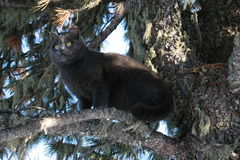Cat on a tree. Gray cat sitting on the old branches of spruce Stock Image