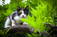 Tricolor calico cat in tree hunting Royalty Free Stock Photos