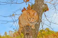 Cat in a Tree Looking For Prey. An orange tabby cat on a branch in a tree looking down to find some prey stock photo