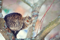 Cat on a tree. Siberian cat on the tree in winter Stock Image