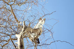 Cat on tree. A cat sitting on the branch observing the sky and waiting for a bird to hunt Stock Photo