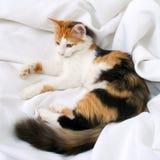 Cat tricolor Stock Image