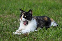 Cat, Tricolor, Yawn, Grass Stock Photography
