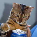 Cat trying a fizzy drink Stock Photos