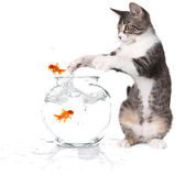 Cat Trying to Catch Jumping Goldfish Stock Image