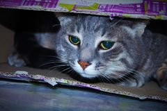 Cat tucked inside a box.  royalty free stock images