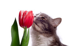 Cat with tulip. Grey cat and red tulip Stock Photography