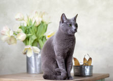Cat and Tulips. Russian Blue cat sitting on table with pears and tulips Stock Images
