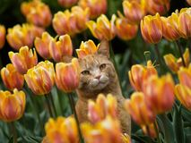 Cat and tulips. A cat standing inside tulip groups on Canadian Tulip Festival in Ottawa royalty free stock photo