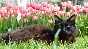 Cat with tulips Stock Photography