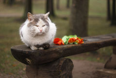 Cat with tulips on bench Stock Photography