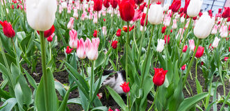 Cat tulips flowers animal in nature Royalty Free Stock Photos