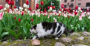 Cat tulips flowers pet garden Royalty Free Stock Photos