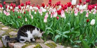 Cat tulips flowers pet garden Royalty Free Stock Photo