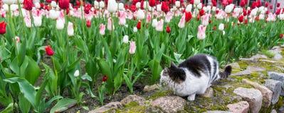 Cat tulips flowers pet garden Stock Photo