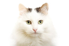 Cat--turkish van breed Royalty Free Stock Photos
