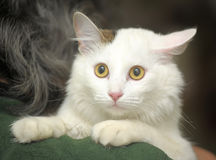 Cat-turkish van breed Stock Photo