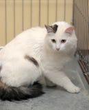 Cat-turkish van breed. Detailed closeup shot Cat-turkish van breed Royalty Free Stock Photo