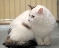 Cat-turkish van breed Stock Image