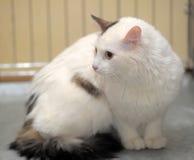 Cat-turkish van breed. Detailed closeup shot Cat-turkish van breed Stock Image