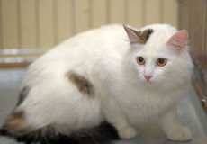Cat-turkish van breed Royalty Free Stock Images